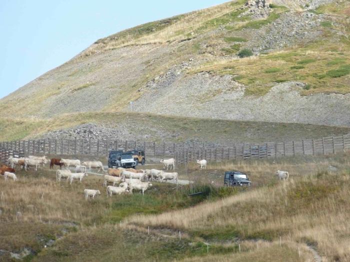Véhicules-traversant-un-troupeau