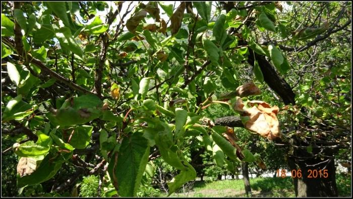 arbre-fruitier_11