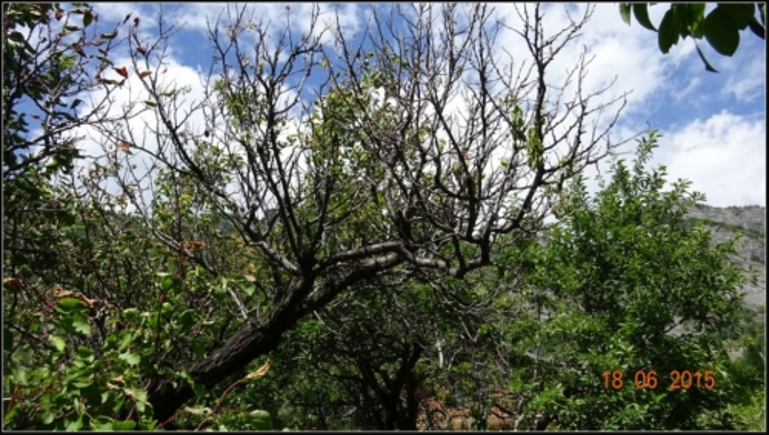 arbre-fruitier_12