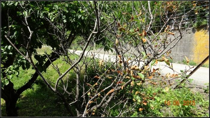 arbre-fruitier_14