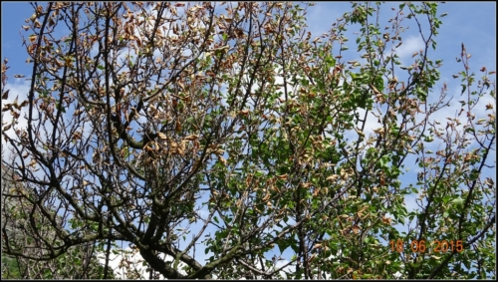 arbre-fruitier_18
