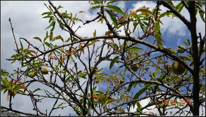 arbre-fruitier_20