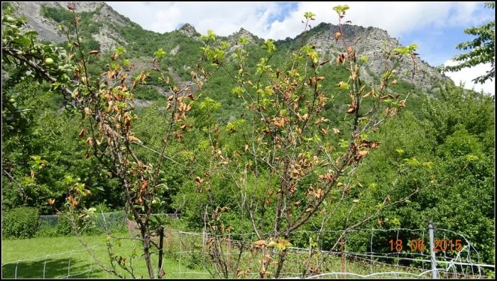 arbre-fruitier_21