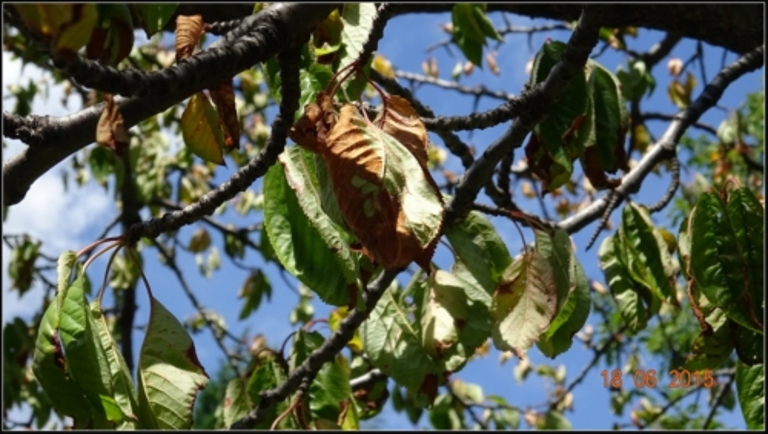 arbre-fruitier_5