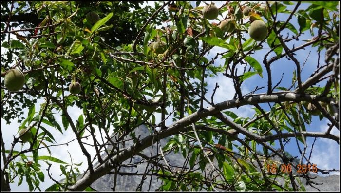 arbre-fruitier_9