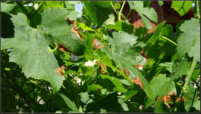 vigne_1